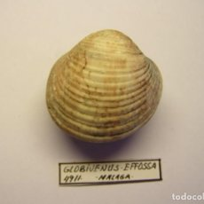 Coleccionismo de moluscos: MOLUSCO BIVALVO GLOBIVENUS EFOSSA. MÁLAGA.. Lote 151192462
