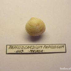 Coleccionismo de moluscos: MOLUSCO BIVALVO PAPILLOCARDIUM PAPILLOSUM. MÁLAGA.. Lote 151193218