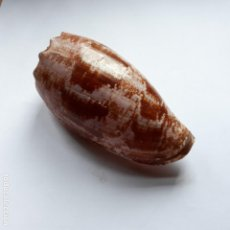 Coleccionismo de moluscos: CARACOLA CONO.CONUS GEOGRAPHUS.. Lote 154362538