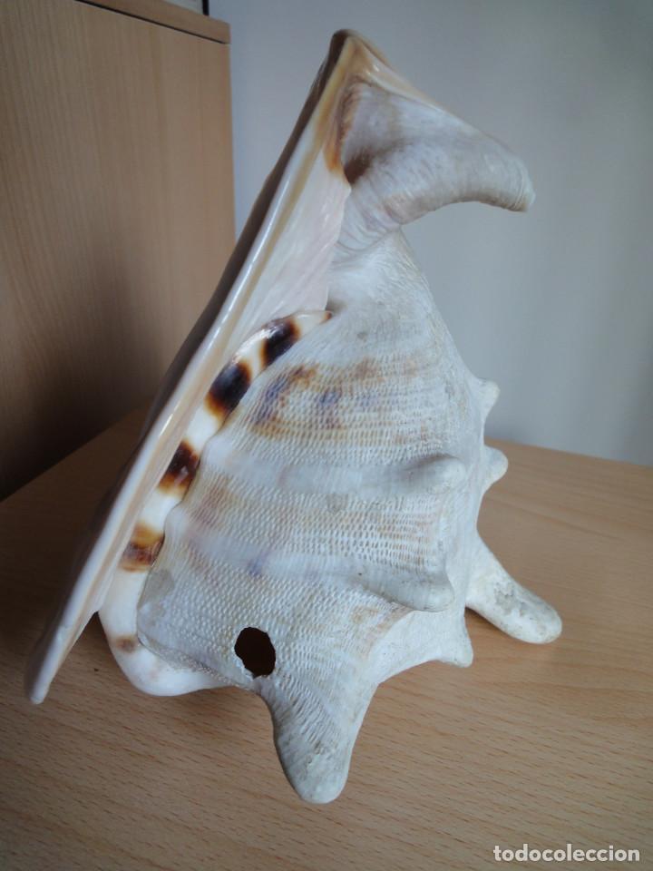 Coleccionismo de moluscos: Gran caracola marina (antigua - años 70) - Foto 2 - 154429446
