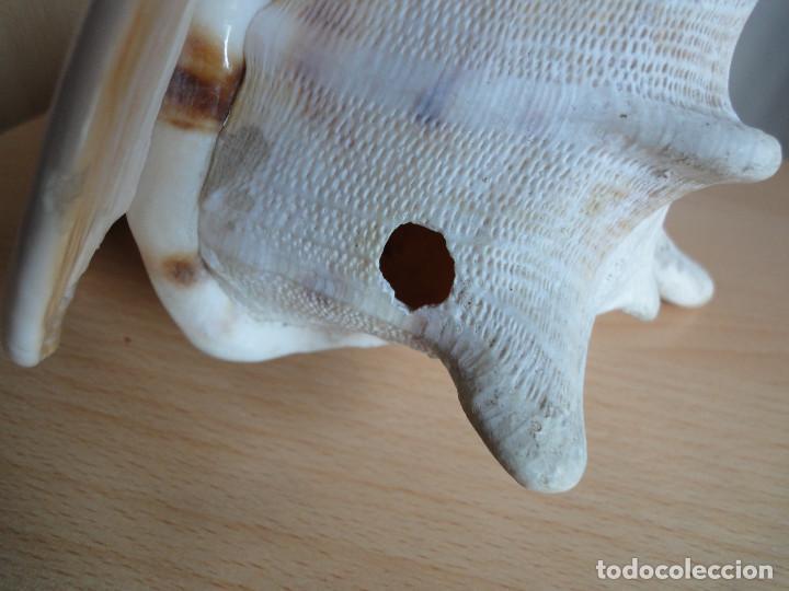 Coleccionismo de moluscos: Gran caracola marina (antigua - años 70) - Foto 3 - 154429446