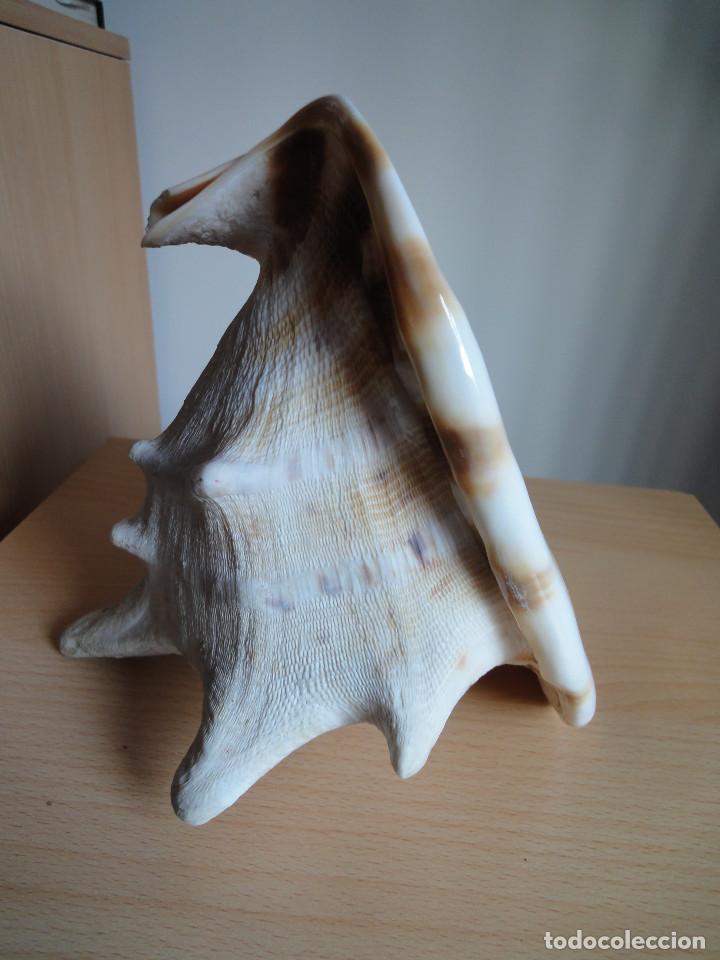Coleccionismo de moluscos: Gran caracola marina (antigua - años 70) - Foto 6 - 154429446