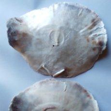 Coleccionismo de moluscos: CONCHAS PLANAS NACARADAS GRAN TAMAÑO. Lote 155377442