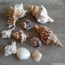 Coleccionismo de moluscos: CONCHAS Y CARACOLAS. Lote 156558908
