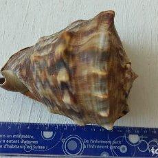 Coleccionismo de moluscos: CONCHA MARINA NATURAL LOTE 04. Lote 156994318