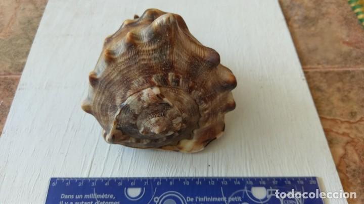 Coleccionismo de moluscos: Concha marina natural Lote 04 - Foto 2 - 156994318