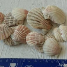 Coleccionismo de moluscos: CONCHAS MARINA NATURALES LOTE DE 12. Lote 156996182