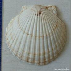 Coleccionismo de moluscos: CONCHA MARINA NATURAL LOTE DE 27. Lote 156996498