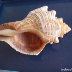 Collezionismo di molluschi: CARACOLA DE MAR. CARACOL MARINO. CONCHA . Lote 157972390