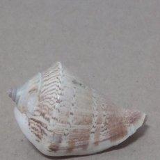 Coleccionismo de moluscos: CARACOLA DE MAR. Lote 158168046