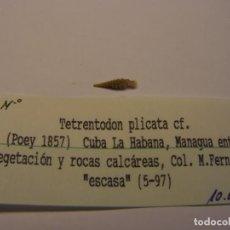 Collezionismo di molluschi: CARACOL SNAIL SHELL TETRENTODON PLICATA. CUBA.. Lote 158699226