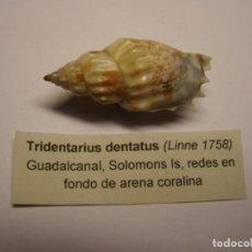 Colecionismo de moluscos: CARACOL TRIDENTARIUM DENTATUS. ISLAS SALOMON. . Lote 158735266