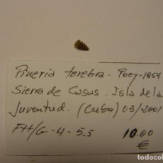 Collectionnisme de mollusques: CARACOL PINERIA TEREBRA. CUBA.. Lote 158993998