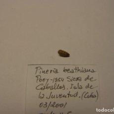 Collectionnisme de mollusques: CARACOL PINERIA BEATHIANA. CUBA.. Lote 158994826