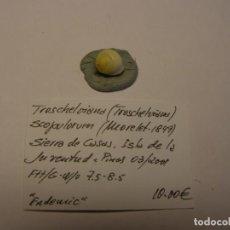 Collezionismo di molluschi: CARACOL SNAIL SHELL TROSCHELVIANA SCOPULORUM. CUBA.. Lote 159002222