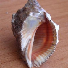 Coleccionismo de moluscos: STRAMONITA HAESMASTONA - MUREX - IBIZA. Lote 159529026