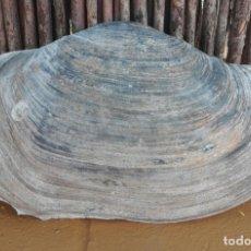 Coleccionismo de moluscos: ENORME CONCHA PANOPEA GLYCIMERIS. Lote 156724286