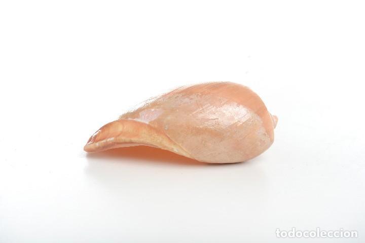 Coleccionismo de moluscos: Caracola Melo melo Filipinas, caracola decorativa, decoración marina, especímenes, biologia - Foto 6 - 240029335