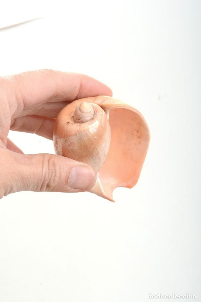 Coleccionismo de moluscos: Caracola Melo melo Filipinas, caracola decorativa, decoración marina, especímenes, biologia - Foto 8 - 240029335