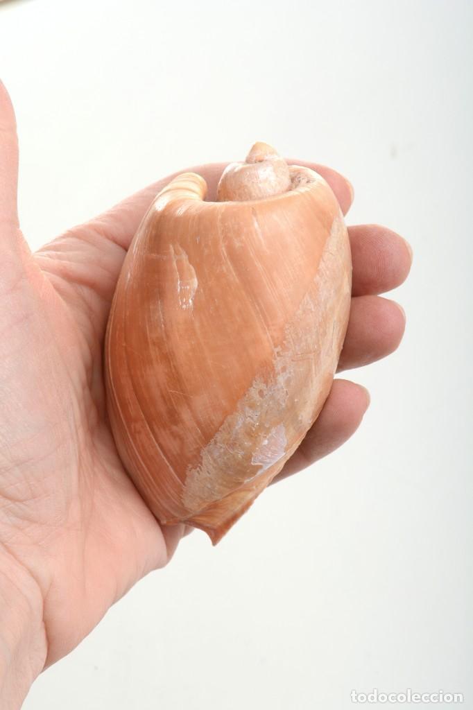 Coleccionismo de moluscos: Caracola Melo melo Filipinas, caracola decorativa, decoración marina, especímenes, biologia - Foto 10 - 240029335