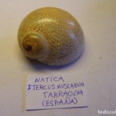 Collezionismo di molluschi: CARACOL SNAIL SHELL NATICA STERCUS MUSCARUM. TARRAGONA. ESPAÑA.. Lote 160969950