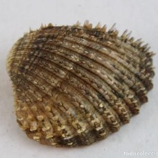 Coleccionismo de moluscos: CARDIUM ECHINATUM, 8 CM. Lote 161300006