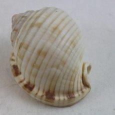 Coleccionismo de moluscos: CASSIS CANALICULATA,7 CM. Lote 161361338