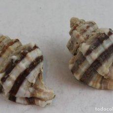 Coleccionismo de moluscos: DOS EJEMPLARES DE LATIAXIS JAPÓNICA, 7 Y 8 CM.. Lote 161363102