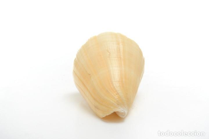 Coleccionismo de moluscos: Concha de caracola, caracola conus tulipa, decoración marina, biología marina - Foto 4 - 161531810