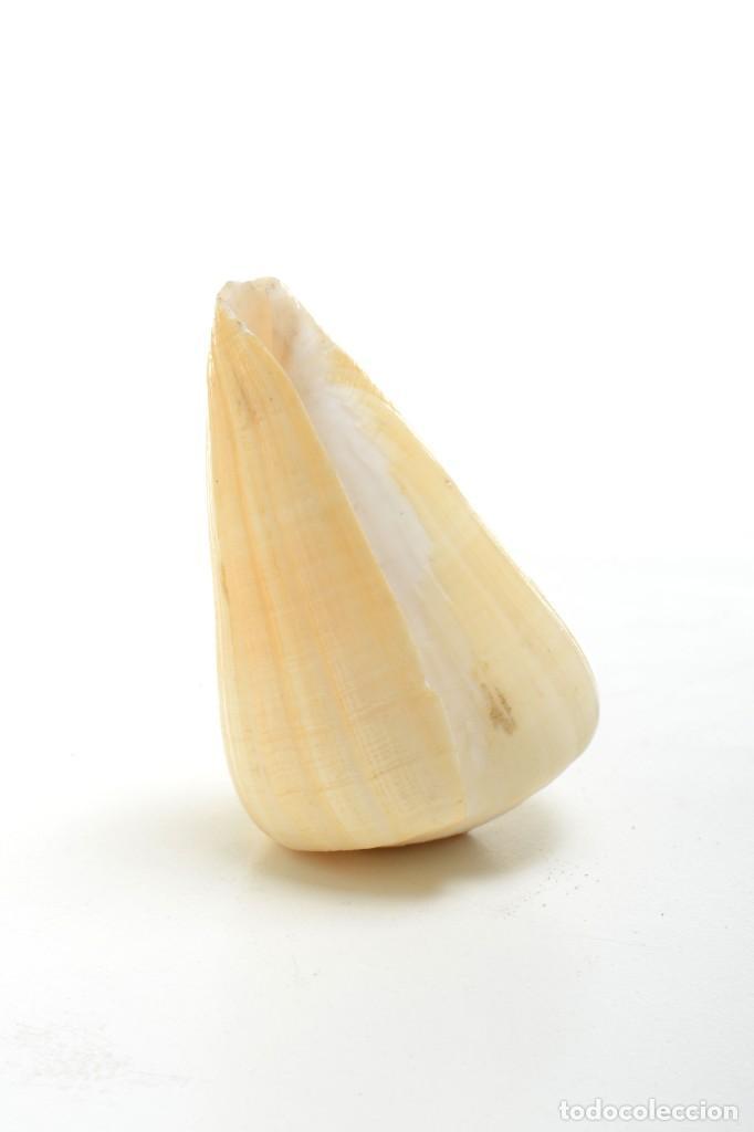 Coleccionismo de moluscos: Concha de caracola, caracola conus tulipa, decoración marina, biología marina - Foto 5 - 161531810