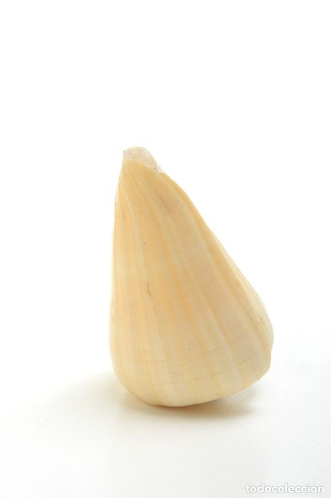 Coleccionismo de moluscos: Concha de caracola, caracola conus tulipa, decoración marina, biología marina - Foto 6 - 161531810