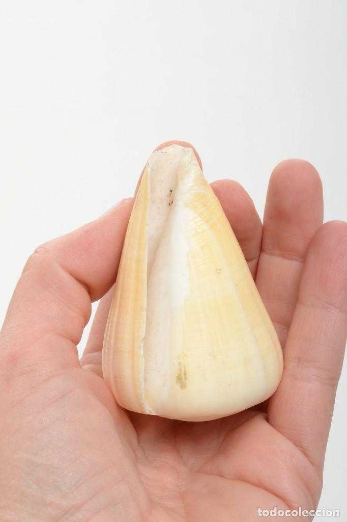 Coleccionismo de moluscos: Concha de caracola, caracola conus tulipa, decoración marina, biología marina - Foto 7 - 161531810