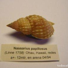 Coleccionismo de moluscos: CARACOL SNAIL SHELL NASSARIUS PAPILLOSUS. HAWAI. Lote 163801314