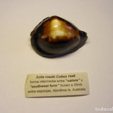 Colecionismo de moluscos: CARACOL SNAIL SHELL CYPRAEA ZOILA ROSELLI . AUSTRALIA.. Lote 163944270