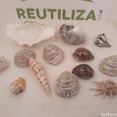 Coleccionismo de moluscos: LOTE DE 13 CONCHAS.. Lote 163970041