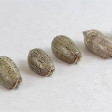 Coleccionismo de moluscos: SEIS EJEMPLARES DE MONOVALVOS DEL GÉNERO CONUS. Lote 164215982