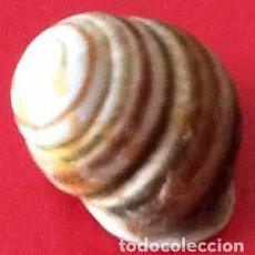 Colecionismo de moluscos: CARACOL TERRESTRE DE LA AMAZONIA.. Lote 171053878