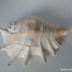 Coleccionismo de moluscos: CARACOLA DE GRAN TAMAÑO 29CM . Lote 171237832