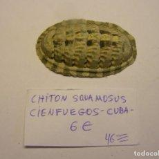 Collectionnisme de mollusques: CARACOL CHITÓN SQUAMOSUS. CUBA. . Lote 171526094