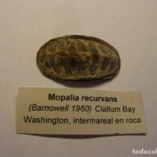 Colecionismo de moluscos: CARACOL MOPALIA RECURVANS. U.S.A.. Lote 171529922