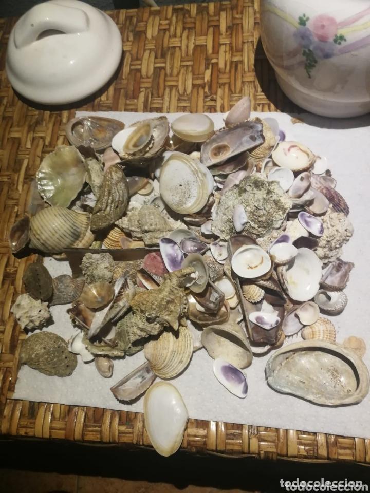 Coleccionismo de moluscos: Lotazo de caracolas del mar con tarro de porcelana - Foto 2 - 173626989