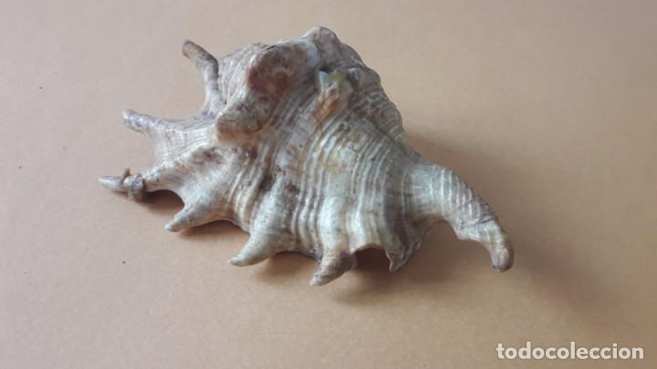 Coleccionismo de moluscos: CONCHA - FOSIL DE 7 PUNTAS, 10 CM - Foto 3 - 174193662