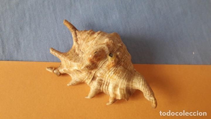 Coleccionismo de moluscos: CONCHA - FOSIL DE 7 PUNTAS, 10 CM - Foto 4 - 174193662