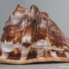 Coleccionismo de moluscos: CARACOLA GIGANTE EN BUEN ESTADO ESTADO 386 GR 15 LARGO ANCHO 12 CM ALTO 11 CM MEDIDAS APROXIMADAS. Lote 200302343