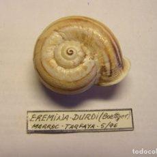Collezionismo di molluschi: CARACOL EREMINA DURDI. MARRUECOS.. Lote 176097130