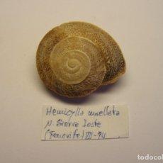 Collezionismo di molluschi: CARACOL HEMICYLLA MAELLATA. ISLAS CANARIAS. . Lote 176346142