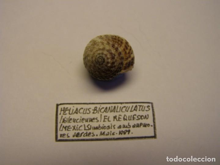 CARACOL HELIACUS BICANALICULATUS. MÉXICO. (Coleccionismo - Malacología )