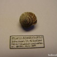 Collezionismo di molluschi: CARACOL HELIACUS BICANALICULATUS. MÉXICO.. Lote 176616468
