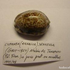 Collezionismo di molluschi: CARACOL CYPRAEA ARABICA DEPRESA. POLINESIA FRANCESA.. Lote 178739856