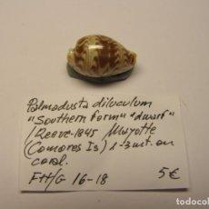 Collezionismo di molluschi: CARACOL CYPRAEA PALMADUSTA DILUCULUM. ISLAS COMORES.. Lote 178843367